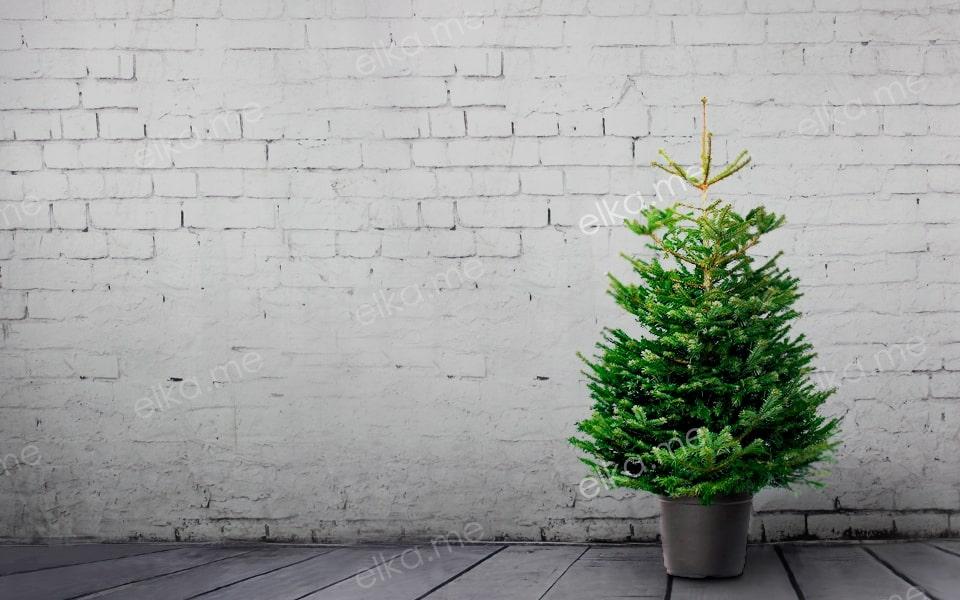 Живая датская елка в горшке